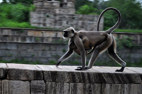 Monkey at Chittorgarh Fort, rajasthan